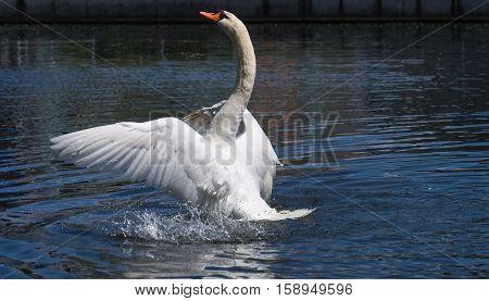 A swans spread its beautiful wings. Spread wings