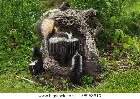 Mother Striped Skunk (Mephitis mephitis) Drags Kit Into Log - captive animals