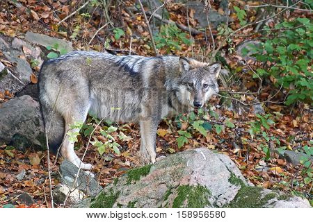 Grey wolf (Canis lupus) standing in vegetation in its habitat