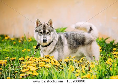 Funny Young Happy Husky Puppy Eskimo Dog Standing In Grass And Yellow Dandelions Outdoor. Spring Season.