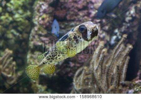 Longspined porcupinefish (Diodon holocanthus), also known as the freckled porcupinefish.