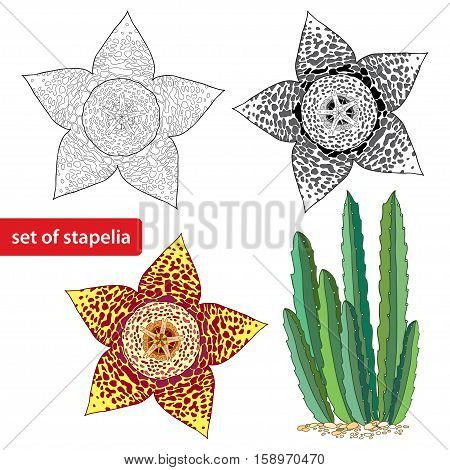 Vector set with Stapelia flower isolated on white background. Genus of low-growing stem succulent plants. Series of different succulent plant.