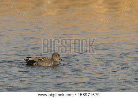 Gadwall (Anas strepera) drake swimming in water