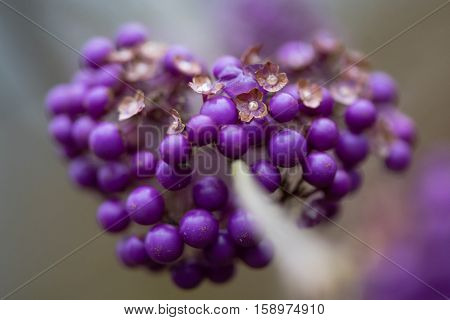 Bodinier's beautyberry (Callicarpa bodinieri var. Giraldii) berries and flowers. Purple fruits of deciduous shrub in the family Lamiaceae native to China with brown petals of old flowers