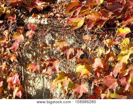 Red leaves on a wall of Hart House at University of Toronto in Toronto Canada November 18 2016
