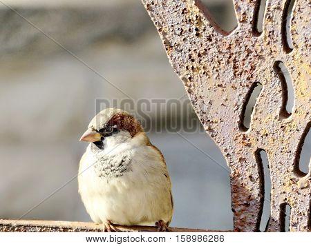 Sparrow near Hart House at University of Toronto in Toronto Canada November 18 2016