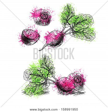 Watercolor Hand drawn set of beets. Retro sketches isolated. Vintage collection. Linear graphic design. Black and white image of vegetables. Vector illustration.