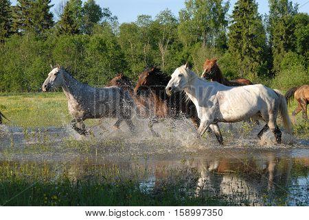 Flock of horses in splashes water in summer 2009