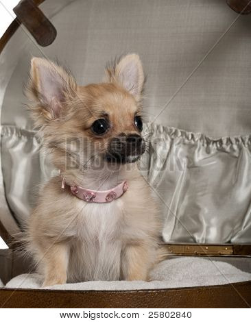 Close-up of Chihuahua puppy, 6 months old, sitting in baby stroller