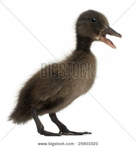 Black Mallard or wild duck, Anas platyrhynchos, 3 weeks old, in front of white background