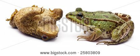 Common European frog or Edible Frog, Rana kl. Esculenta, facing a common toad or European toad, Bufo bufo, lying on its back in front of white background