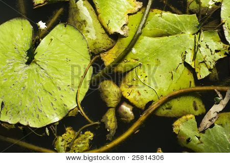 Waterlilly Plants