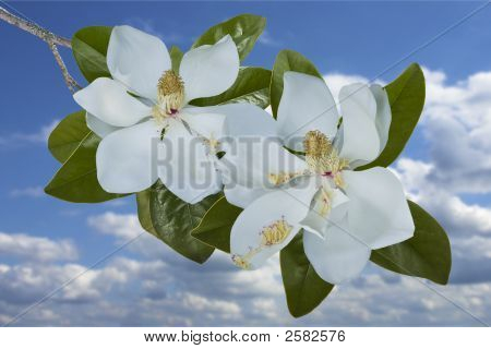 Two Magnolia Blooms Set Against A Sky Background