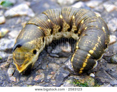 Ugly Caterpillar