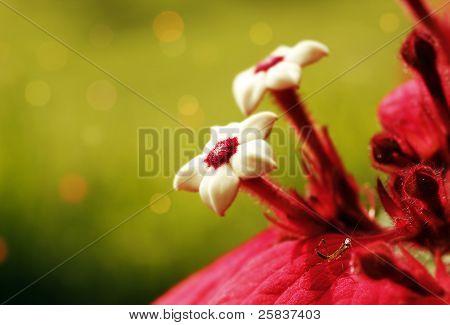 Ashanti Blood Flower With Mantis