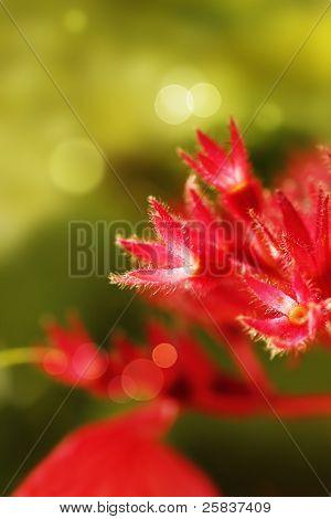 Red Mussaenda Sepals Glowing In Sunlight