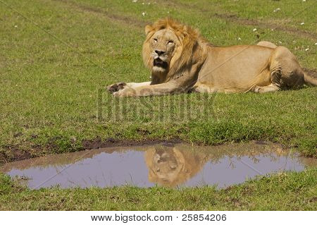 Lion reflecting
