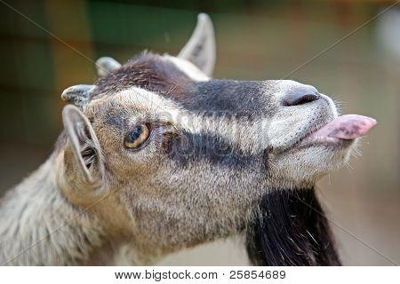 Goat's funny portrait