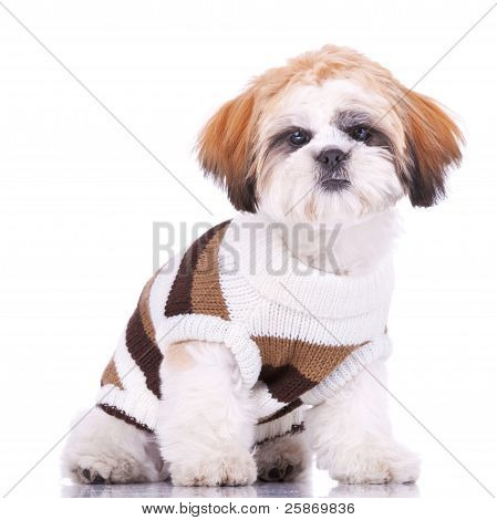 Curious Little Shih Tzu Puppy, Wearing Clothes