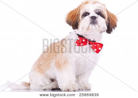 Sitting Little Shih Tzu Puppy