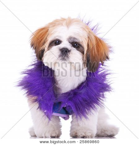Sweet Looking Shih Tzu Puppy