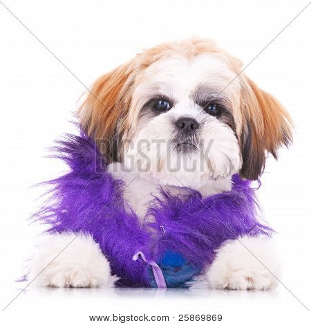 Adorable Dressed Shih Tzu Puppy