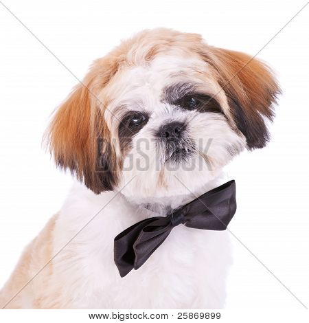 Head Of A Little Shih Tzu Gentleman