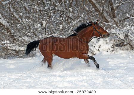 Bay trakehner stallion galloping