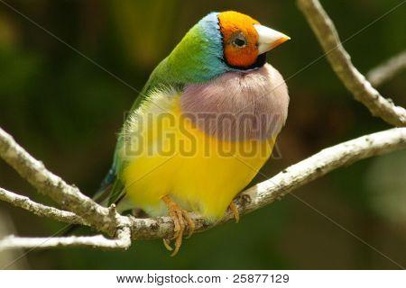 An orange headed Gouldian Finch sitting on a branch