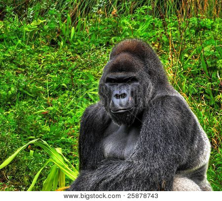 A HDR close up image of a male silverback gorilla in a sitting pose