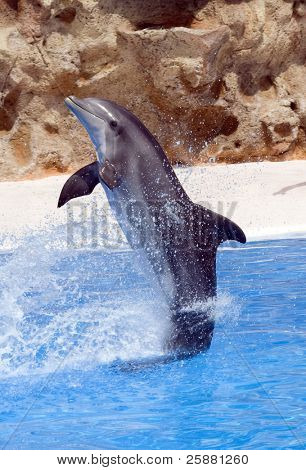 A bottlenose dolphin performing a tail stand at a show