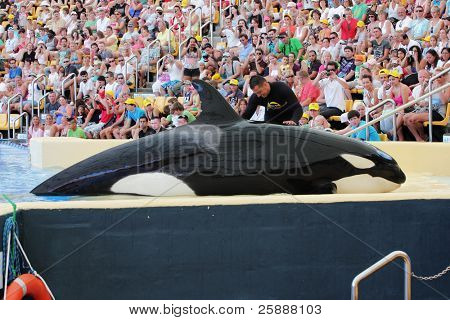 PUERTO DE LA CRUZ, TENERIFE - AUGUST 31: New Orca Ocean exhibit has helped the Loro Parque become Tenerife's second most popular attraction on August 31, 2011 in Puerto De La Cruz, Tenerife.