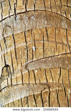 Texture of a Palm Tree Bark
