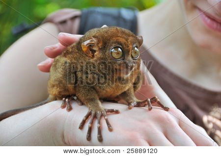 Tarsier - smallest primate in the world