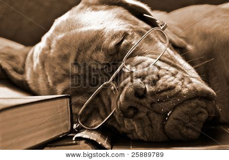 Smart Dog in Glasses Sleeping in Books in Sepia Tone