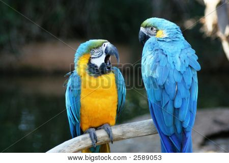 Beautiful Military Macaws