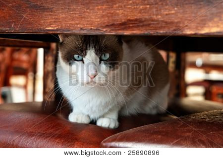 Blue Eyed Cat Sitting Under The Table