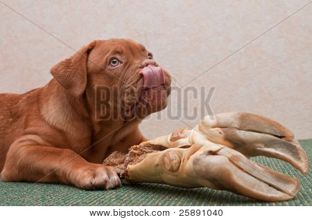 Puppy is treating itself with a Big Delicious Bone