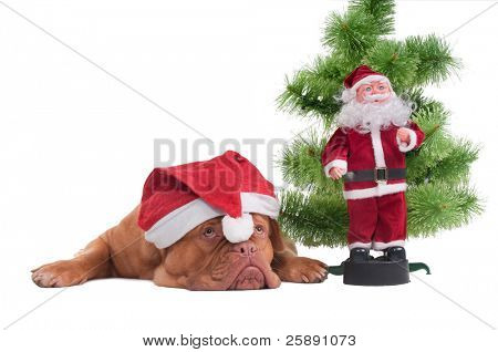 Tired Dog with Santa's cap lying next to a Christmas tree and Santa toy