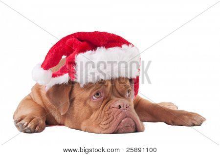 Puppy of dogue de bordeaux with Santa hat