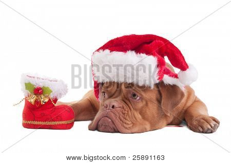 Dogue de bordeaux with Christmas hat and decorations