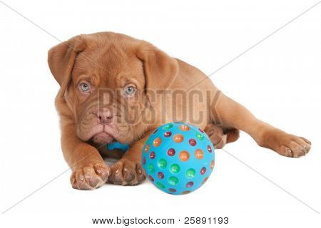 Attentive Dogue De Bordeaux puppy playing with ball isolated