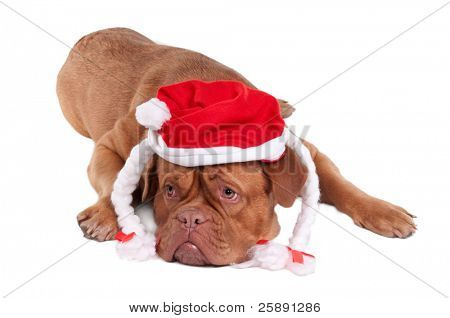 Dogue de bordeaux with Snowwhite's hat looking aside