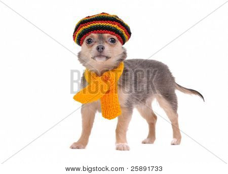 Cute chihuahua puppy standing with Rastafarian hat and yellow scarf