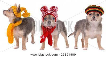 Three chihuahua puppies dressed in Winter and Autumn Clothes isolated on white background