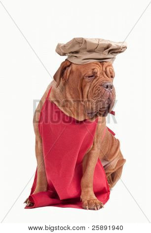 Tired Italian chef - dogue de bordeaux in apron and hat isolated on white background