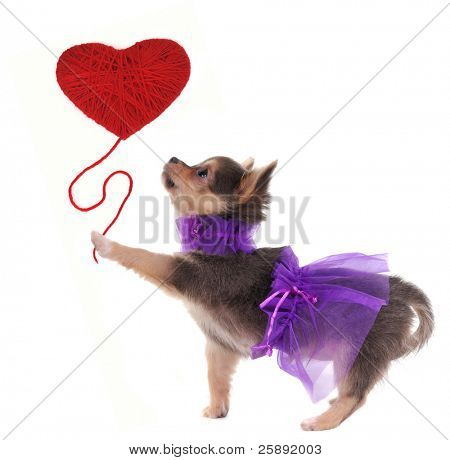 Romantic chihuahua puppy holding red heart like a balloon in her paw
