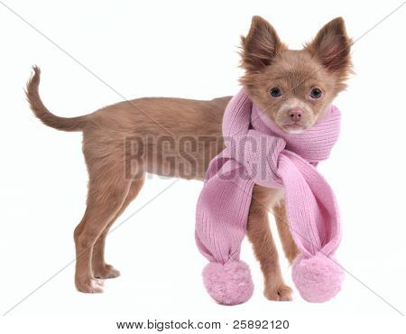 Chihuahua puppy wearing a pink scarf, looking at camera, isolated on white