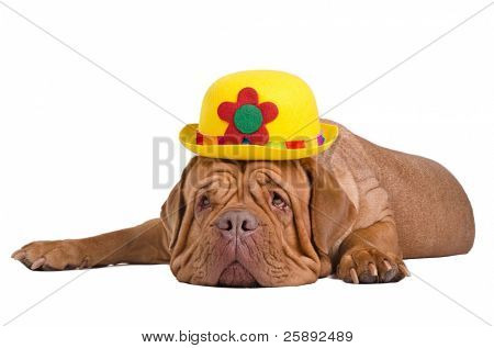 Sad dogue de bordeaux with yellow bowler (derby) hat is waiting for summer