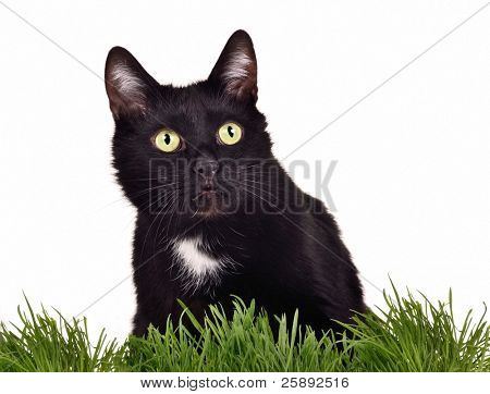Black green-eyed cat in green grass isolated on white background